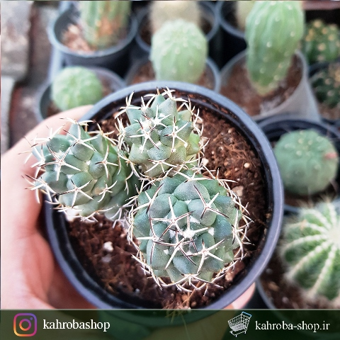 کاکتوس کوریفانتا سه سر-سرزنی شده (coryphantha cactus ) - سایز گلدان ده