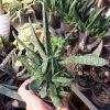 گاستریا سبز پر بچه گرفته شده از مادری ابلق (Gasteria )- سایز گلدان شش
