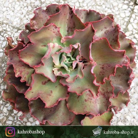 ساکولنت اچوریا گیبیفلورا مادری ( Echeveria gibbiflora ruffled)