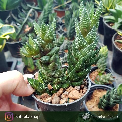 هاورتیا آتنوتا ستونی مادری ( haworthia attenuata )- سایز گلدان هشت