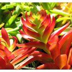 چرا ساکولنت آتشین من رشد قدیش زیاد شده و رنگش از قرمز به سبز تغییر پیدا کرده؟