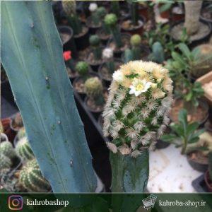 کاکتوس مامیلاریا کارمنا پیوندی روی پایه مادری میرتلو (Mammillaria Carmenae Cactus)