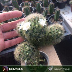 کاکتوس مامیلاریا کارمنا پیوندی روی پایه پرسکیا (Mammillaria Carmenae Cactus)