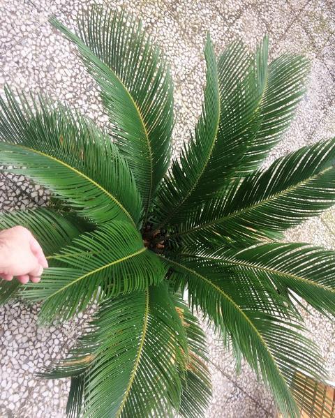 گیاه مادری سیکاس ( Cycas) مخصوص فضاهای بیرونی و محوطه های باز