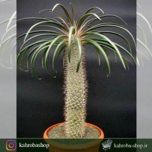 بذر نخل گیی ( پاچیپودیوم گیی ) - Pachypodium Geayi با قوه نامیه بالا