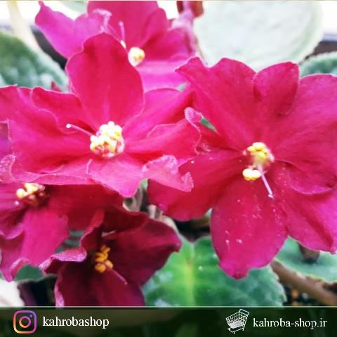 گیاهچه بنفشه آفریقایی گلدار (نژاد atrin )- رنگ گل جگری - سایز گلدان هشت