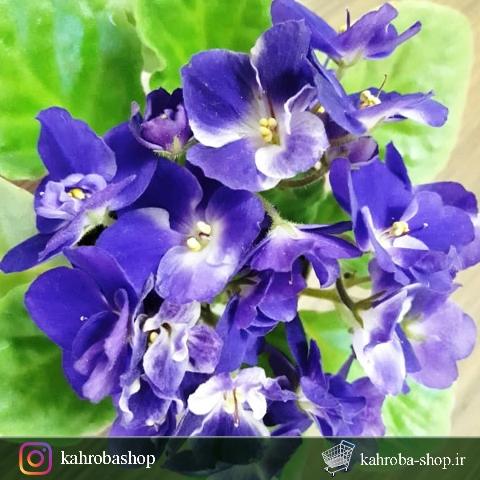 گیاهچه بنفشه آفریقایی گلدار ستاره شب- سایز گلدان هشت
