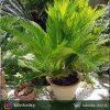 گیاه سیکاس ( Cycas) مخصوص فضاهای بیرونی و محوطه های باز- دو تایی