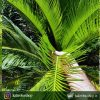 گیاه سیکاس ( Cycas) مخصوص فضاهای بیرونی و محوطه های باز- سایز متوسط