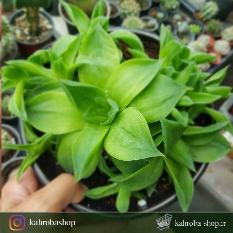 هاورتیا هیبرید کلکسیونی و خاص مادری پر بچه ( Haworthia Hybride)- سایز گلدان 14