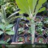 افوربیا خاص و کلکسیونی برگری ( Euphorbia neohumbertii ) - سایز گلدان شش