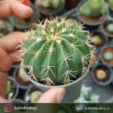 کاکتوس ملو 4 ساله (Melo cactus) - سایز گلدان هشت پر