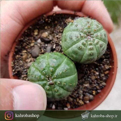 افوربیا اوبسا دوتایی( Ephorbia Obesa ) - سایز گلدان شش