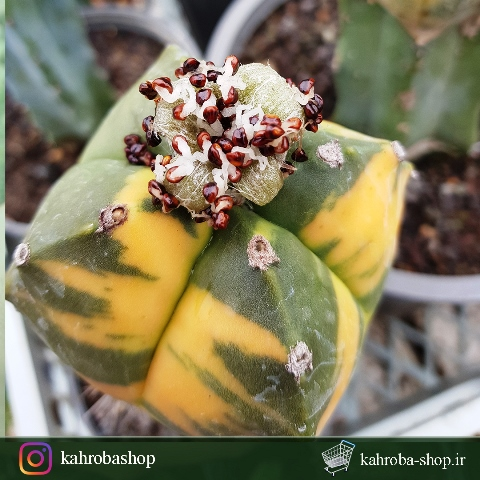 بذر کاکتوس آستروفیتوم کیکو ابلق چهار پر( astrophytum kikko variegata)