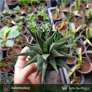 هاورتیا نقطه ایی مادری پر بچه ( haworthia attenuata )- سایز گلدان ده
