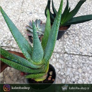 پک سه تاییه گاستریا و آلوئه و اچوریا ( Gasteri & Echeveria & Aloe)