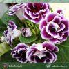 گیاهچه گلوکسینسا گلدار (نژاد Gloxinia speciosa)- سایز گلدان ده